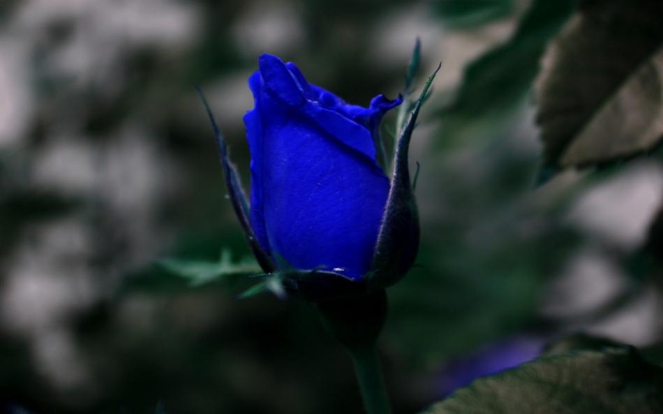 6778205-blue-roses