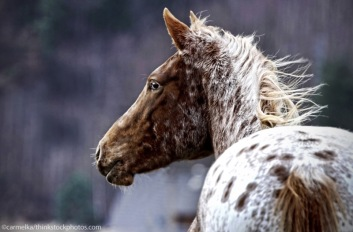 appaloosa-winter